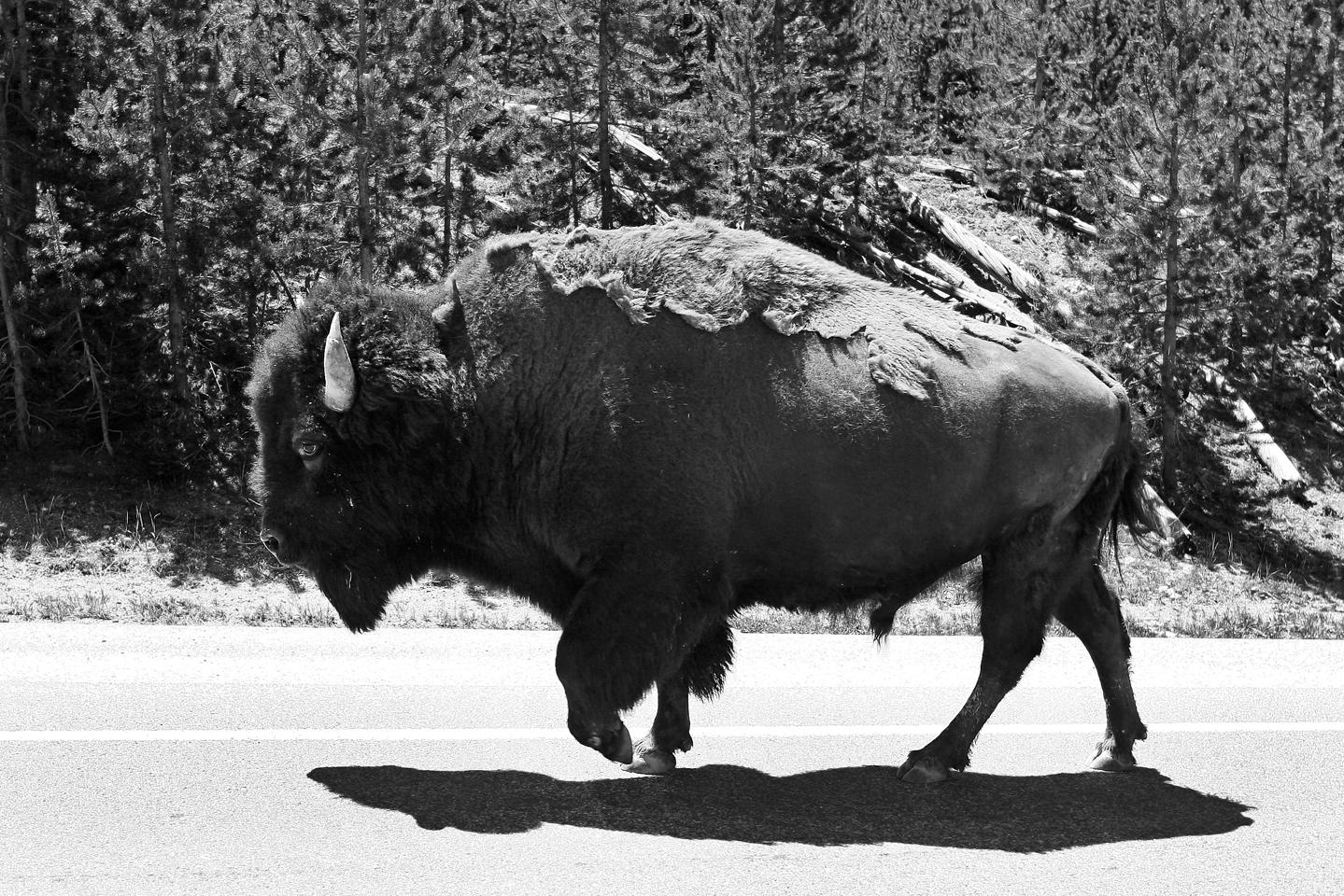 yellowstone-buffalo-walking-road