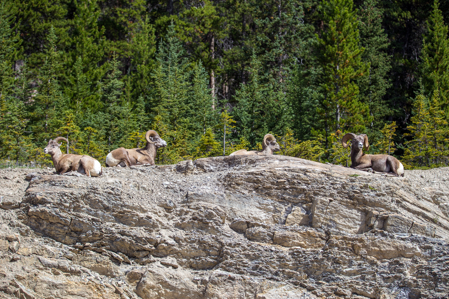 icefields-parkway-bighorn-sheep-roadside
