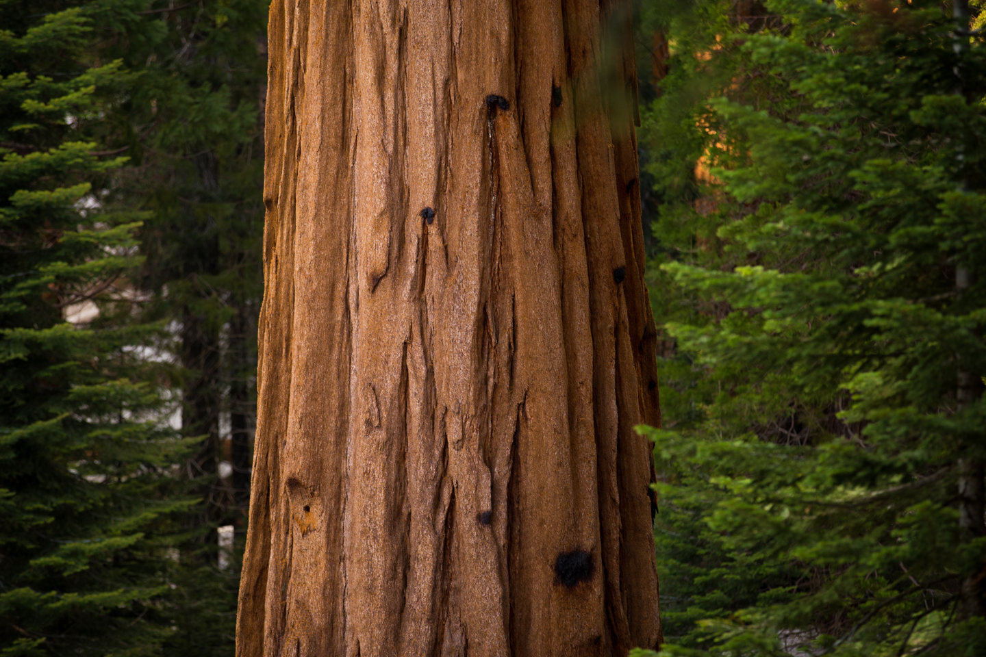 Sequoia-National-Park-Tree-Detail