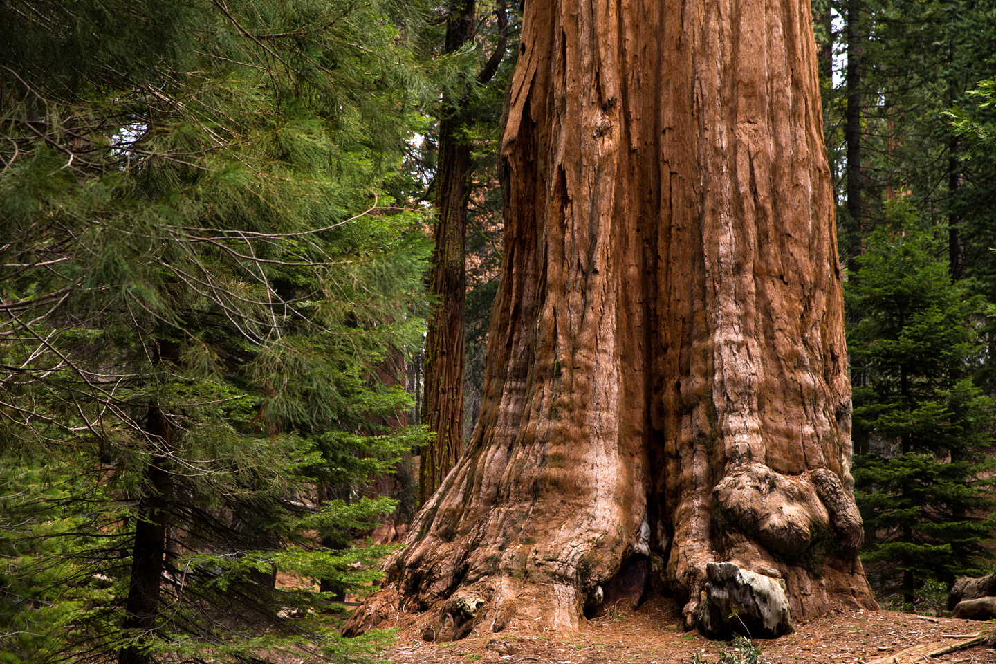 Sequoia-National-Park-Trees-Trunk-Green